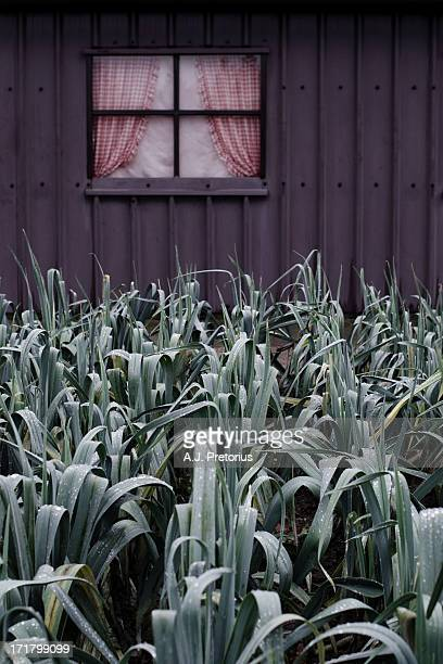 CONTENT] belgium flanders leeks shed purple green color colour vegetable window curtains garden vegetable garden gardening winter