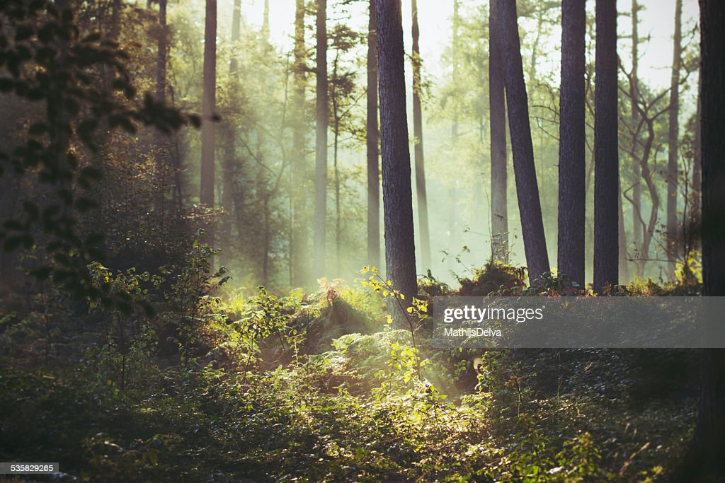 Belgium, Flanders, West Flanders, Brugge, Sunbeam lighting a patch of underbrush in forest : Stock Photo