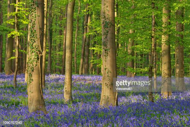belgium, flemish brabant, halle, hallerbos, bluebell flowers, hyacinthoides non-scripta, beech forest in early spring - deciduous tree stock pictures, royalty-free photos & images