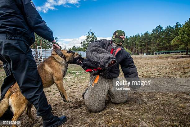 Belgium Shepard apprehends criminal at Militia Dog Training and Breeding Center Kyiv Ukraine 1 of April Photographer Oleksandr Rupeta