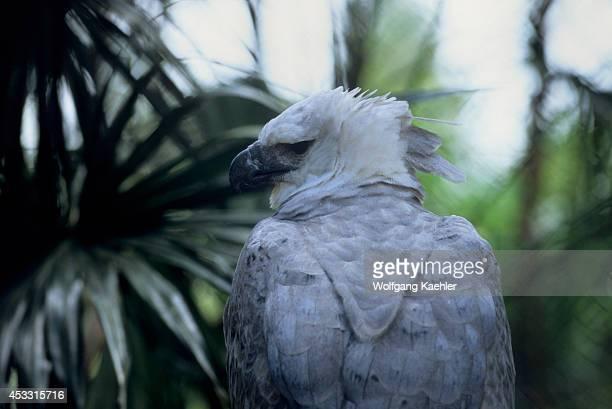 Belize Belize Zoo Harpy Eagle Harpia harpyja