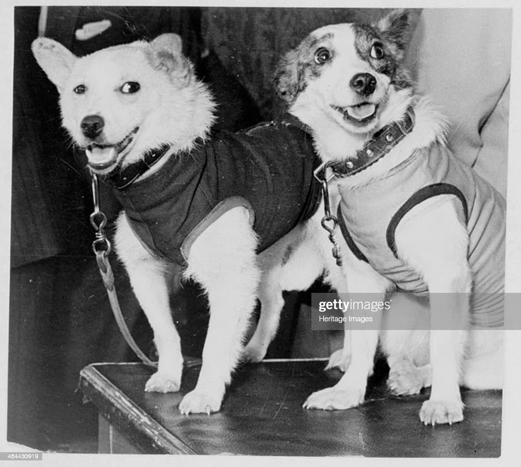 Belka and Strelka, Russian cosmonaut dogs, 1960. : News Photo