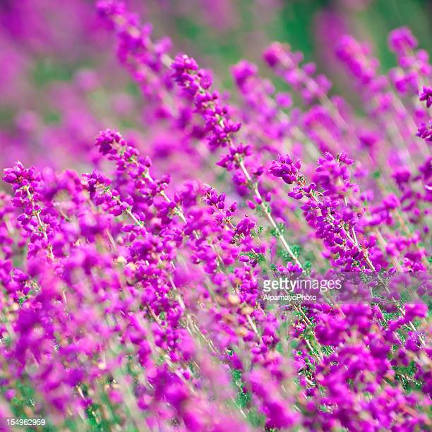 Bell Heather flowers (Erica cinera 'Pentreath') - II