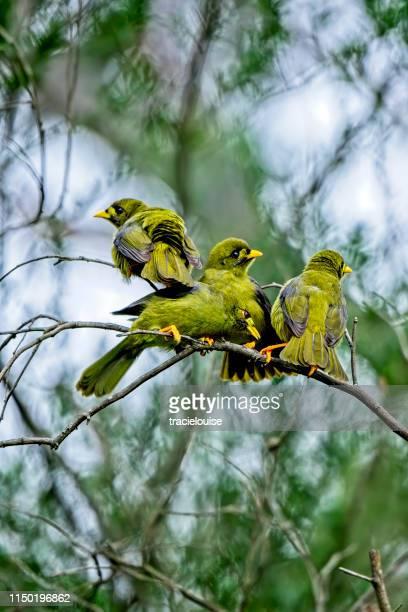 de mijnwerker van de klok of bellbird (manorina melanophrys) - zangvogel stockfoto's en -beelden