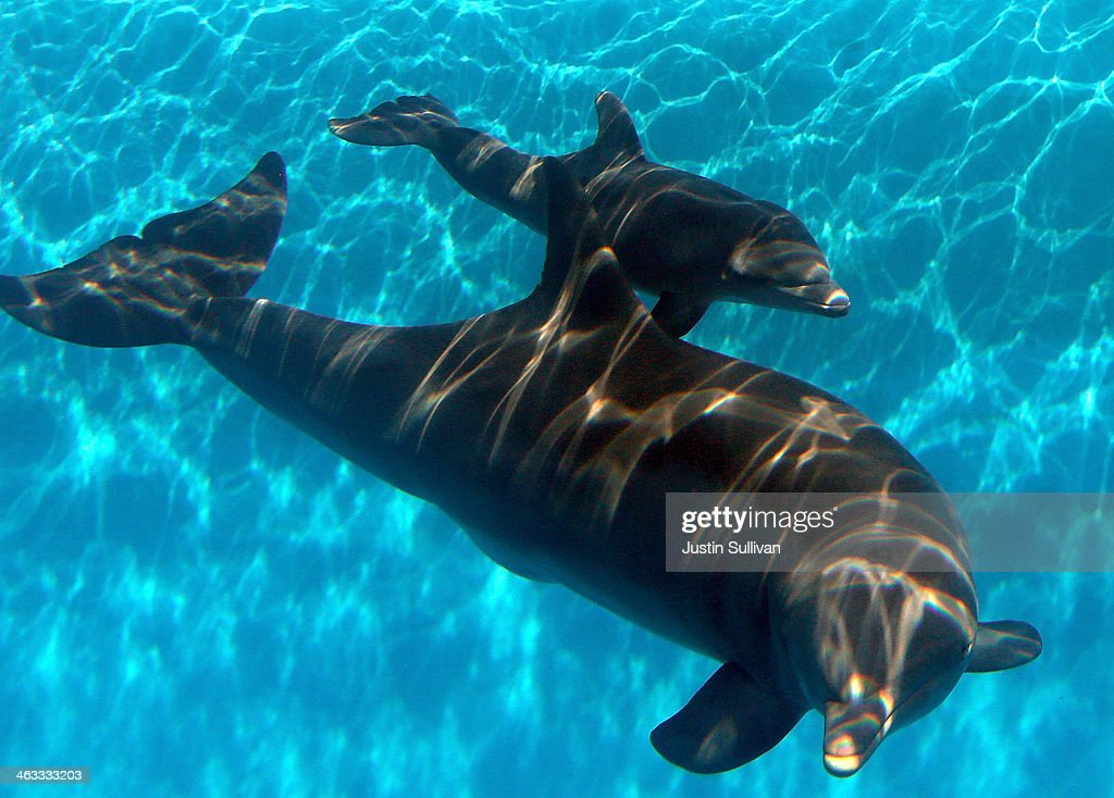 Bella, a Bottlenose Dolphin, swims in a pool with her new calf named Mirabella at Six Flags Discovery Kingdom on January 17, 2014 in Vallejo, California. Bella, a nine year-old Bottlenose Dolphin, gave birth to her first calf on January 9, 2014 at Six Flags Discovery Kingdom.