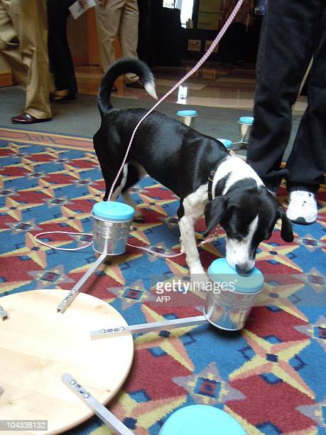 Bella a dog trained to sniff out bed bugs demonstrates her skills at a twoday conference on eradicating the hardy critters in a suburb of Chicago on...