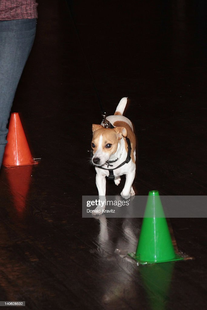 Bella a Jack Russell Terrier does the obstacale course and attends the one year anniversary of being pet-friendly at the Showboat Atlantic City on March 3, 2012 in Atlantic City, New Jersey.