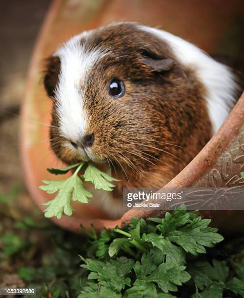 bella in the flowerpot - guinea pig stock pictures, royalty-free photos & images