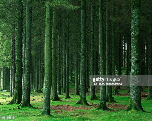 Bellever Forest, Dartmoor, Devon, England, United Kingdom, Europe