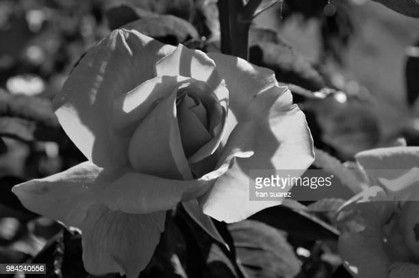 belleza en blanco y negro - blanco y negro ストックフォトと画像