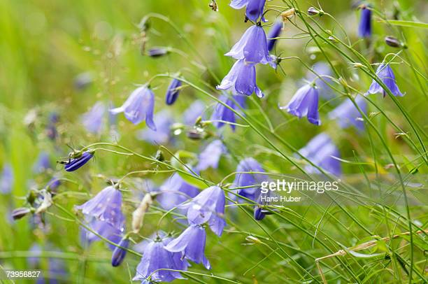 bellflower, campanula rotundifolia close-up - bluebell stock pictures, royalty-free photos & images
