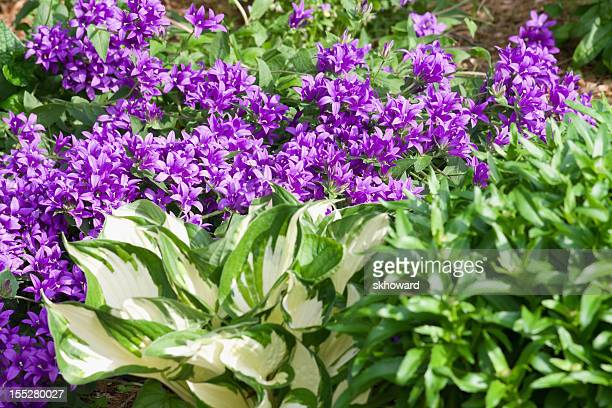 Bellflowers and Hostas