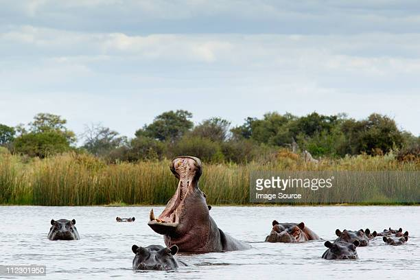 belligerent hippo in river - botswana stock pictures, royalty-free photos & images