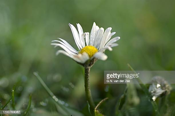 bellis perennis - drenthe stock pictures, royalty-free photos & images