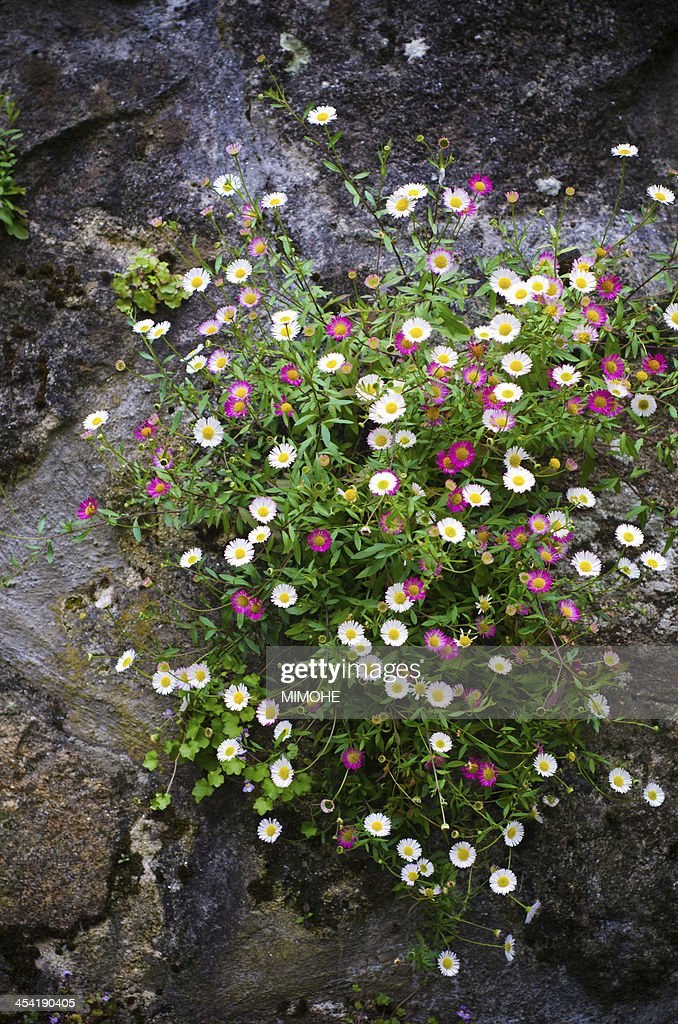 Bellis perennis : Stock Photo
