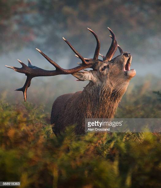 bellowing stag - richmond upon thames stock pictures, royalty-free photos & images