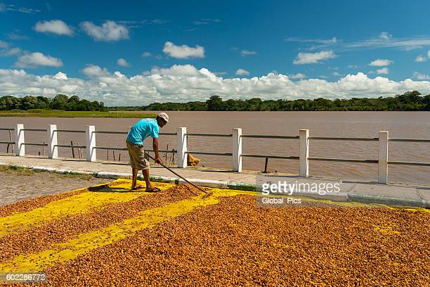 belmonte - bahia - theobroma stock photos and pictures