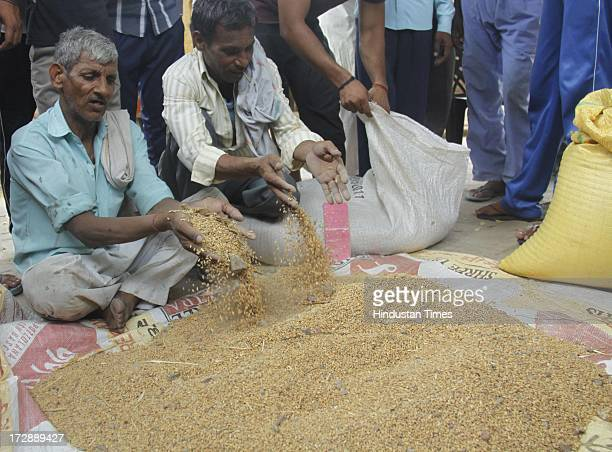Below Poverty Line Dalit family showing rotten wheat unfit for human consumption supplied to them under the Public Distribution Scheme at Lala Khedli...