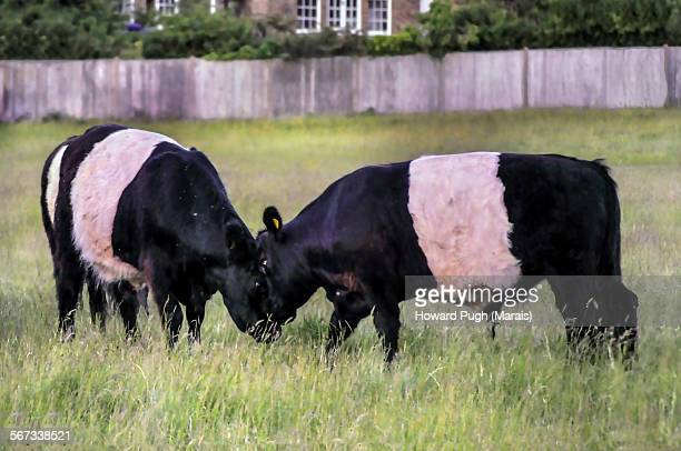 belted bulls stand off - howard ranch stock pictures, royalty-free photos & images