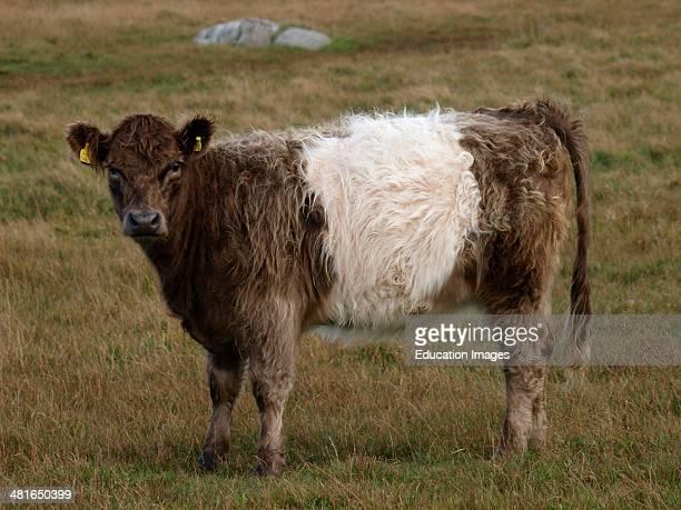 Belted cattle Davidstow Bodmin Moor Cornwall UK