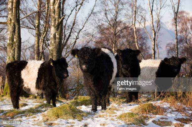 Belted Galloway cattle outwintering on rough ground as part of a conservation plan. Cumbria.