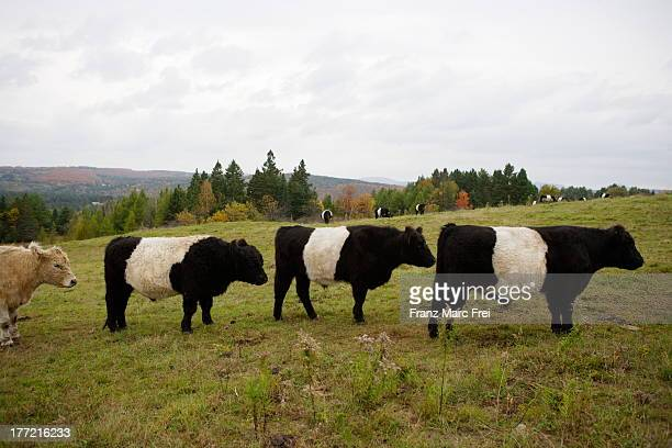 Belted Galloway cattles, East Burke