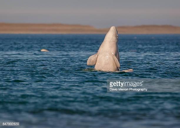 Beluga calf spy hopping