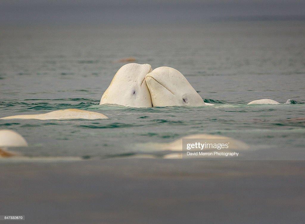 Beluga lovers : Stock Photo