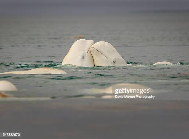 Beluga lovers
