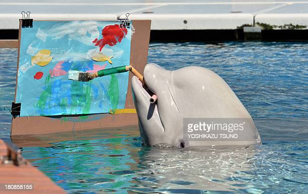 A Beluga paints a picture with a special paintbrush at the Hakkeijima Sea Paradise aquarium in Yokohama suburban Tokyo on September 17 2013 The...