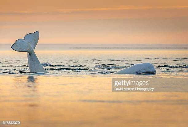 Beluga sunset float