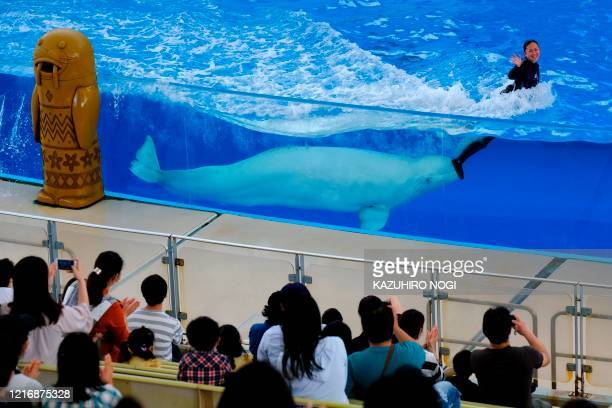 Beluga whale and a trainer perform during the dolphin show at the Hakkeijima Sea Paradise theme park, which was reopened on June 1 after about two...