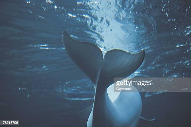 beluga whale at new york aquarium - beluga whale stock photos and pictures