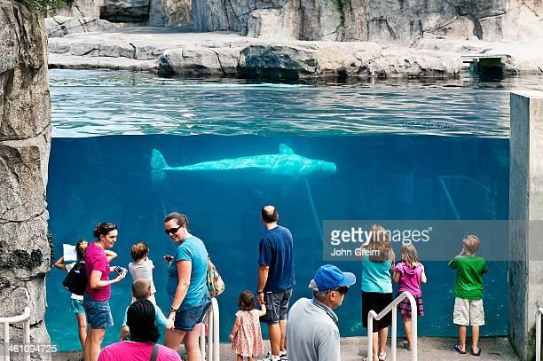 Beluga whale exhibit at Mystic Aquarium