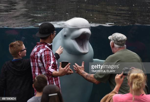 A Beluga whale plays with tourist as they visit Mystic Aquarium in Mystic Connecticut on June 18 2017 The aquarium serves as the largest outdoor...
