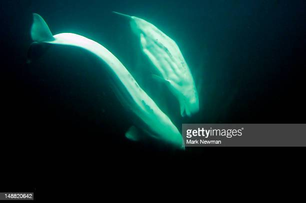 Beluga Whale (Delphinapterus leucas), Point Defiance Zoo.