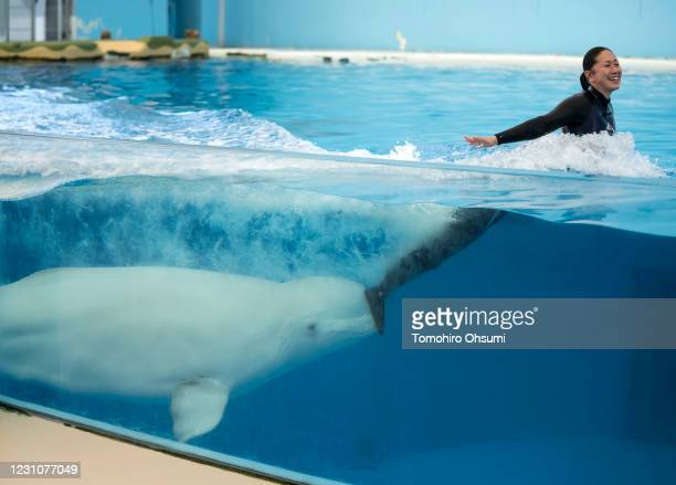A beluga whale pushes a trainer in a pool during a training session for employees held ahead of the reopening of the Hakkeijima Sea Paradise theme...