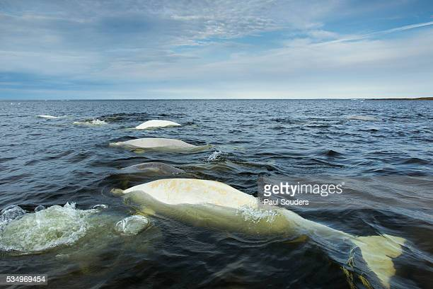 Beluga Whales, Hudson Bay, Canada