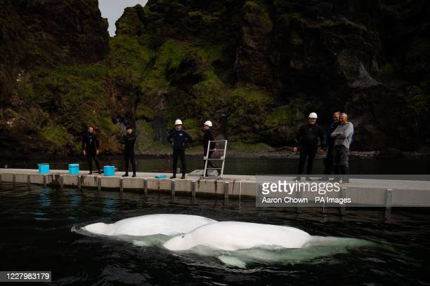 Beluga Whales Little Grey and Little White swim in the bayside care pool where they are acclimatising to the natural environment of their new home at...