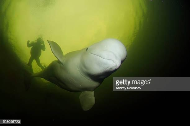 Beluga, White whale -Delphinapterus leucas- and diver, White Sea, Kareliya, Karelia, north Russia, Arctic
