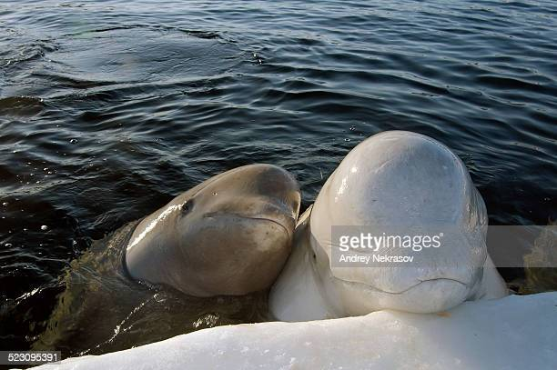 Belugas, White whales -Delphinapterus leucas-, White Sea, Kareliya, north Russia, Arctic