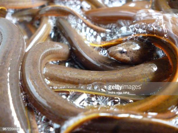 belut - saltwater eel stock photos and pictures