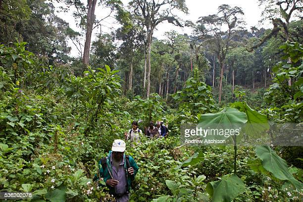 Ben a Gorilla tracker/guide with a group of international travellers trekking the Bitukura group of Mountain Gorilla in Bwindi Impenetrable Forest...