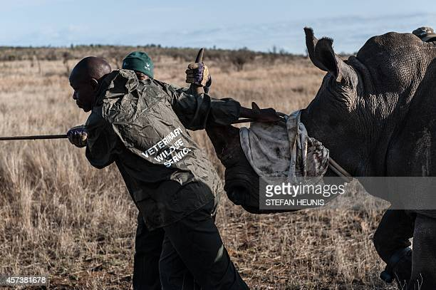 Ben Baloyi and Thomas Mahori members of the Kruger National Park Veterinary Wildlife Services in South Africa guide a sedated white rhino toward a...