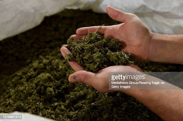 Ben Davies holds harvested hemp buds grown at his Wild Fox Farm in Barto Pa Monday March 30 as the coronavirus epidemic forces changes in the way he...