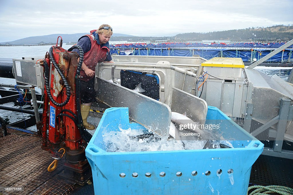 Ben Munnings diverts a random selection of salmon into a bath for health checks as they go through a shower of fresh water, a process for preventing amoebic gill disease, at Huon Aquaculture Co.'s salmon farm at Hideaway Bay, Tasmania, Australia, on Tuesday, Feb. 26., 2013. Australia's economy probably grew 3 percent in the final quarter of 2012 from a year earlier, economists predicted before a March 6 government report, as demand strengthened from China, Australia's biggest trading partner. Photographer: Carla Gottgens/Bloomberg via Getty Images