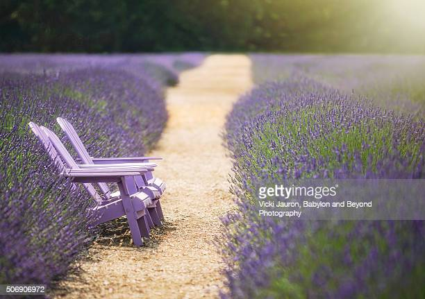 Bench, Path and French Lavender at Lavender by the Bay, East Marion, Long Island, NY