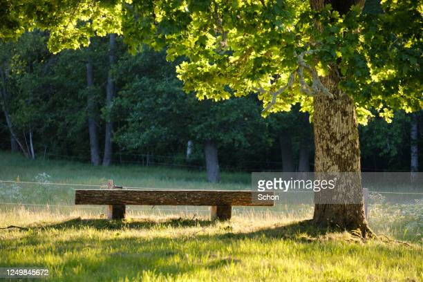 a bench under a maple in the evening light in the summer - non urban scene stock pictures, royalty-free photos & images