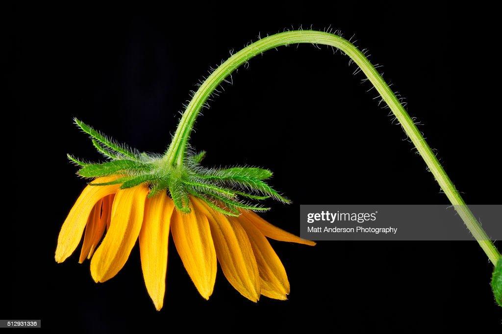 Bending Flower : Stock Photo