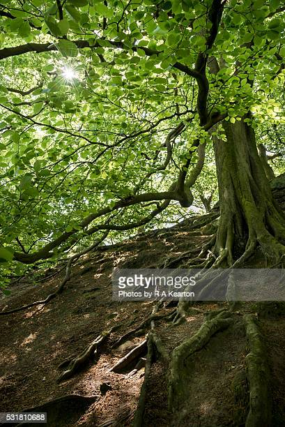 Beneath an old rooty Beech tree in spring sunshine
